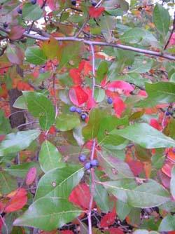 white oak nursery native trees shrubs - White Oak Garden Center