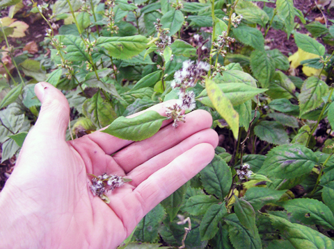Goldenrod Plant Seed Strip seed from the plant when
